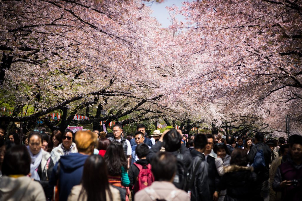 Lots of tourists come for Cherry Blossom season