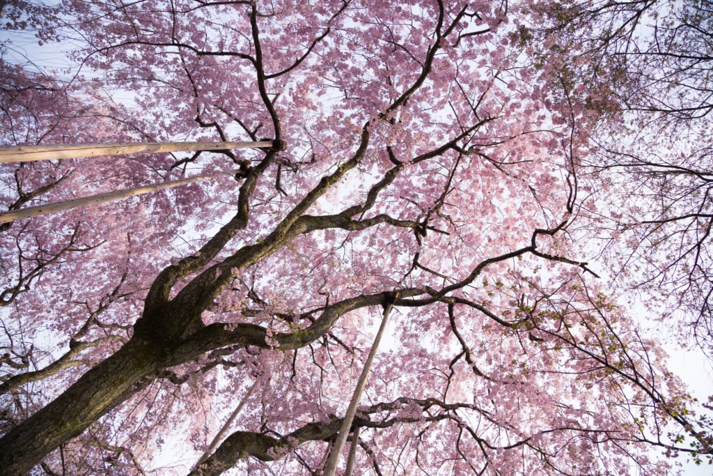 Cherry blossom season is most famous in Japan.