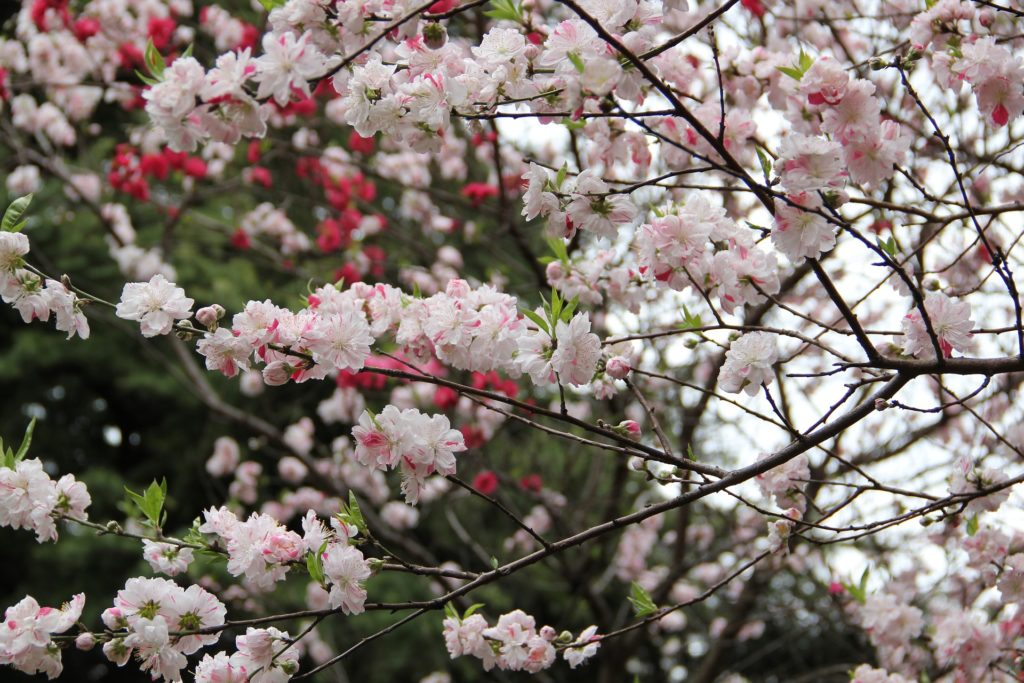Cherry Blossom in Japan is an unforgettable experience
