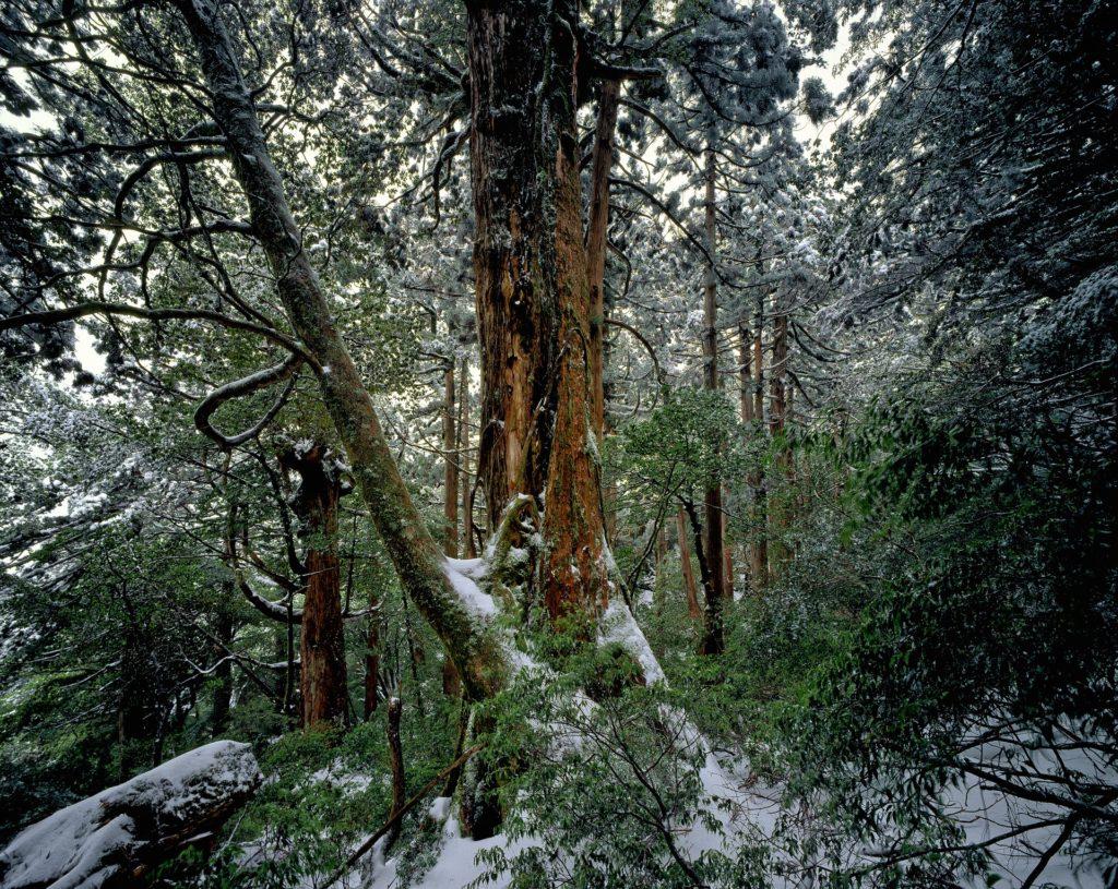 A Yakushima cedar tree in the woods.